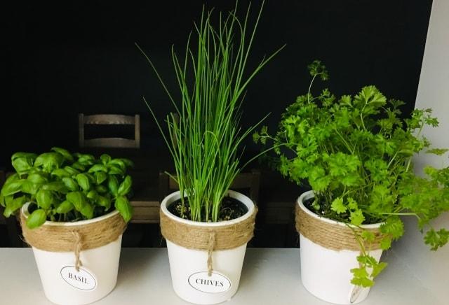 バジル数種・ディル・フェンネル・コリアンダーの種(タネ)を植えてみてわかってきたこと。