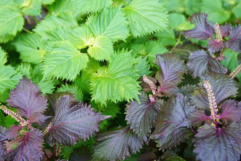 春から夏にかけて重宝する紫蘇(シソ)。その紫蘇のことを詳細に説明した記事が参考になります。