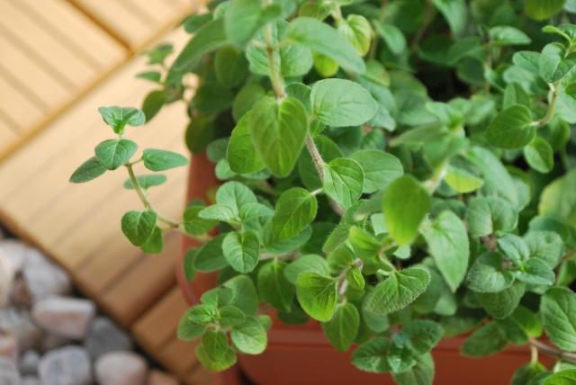 自宅ハーブガーデンの「オレガノ」の香りが薄いことについての考察。及び、今後のオレガノ栽培の方向性について。