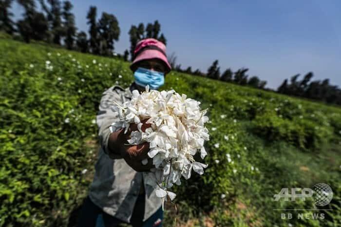 香料用ジャスミンの世界供給量の半分を占めるエジプトの栽培事情について