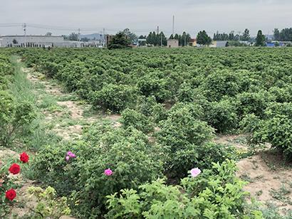 「富山を日本一の食用バラの都にしたい。」フラワーショップチェーン社長の大きな野望