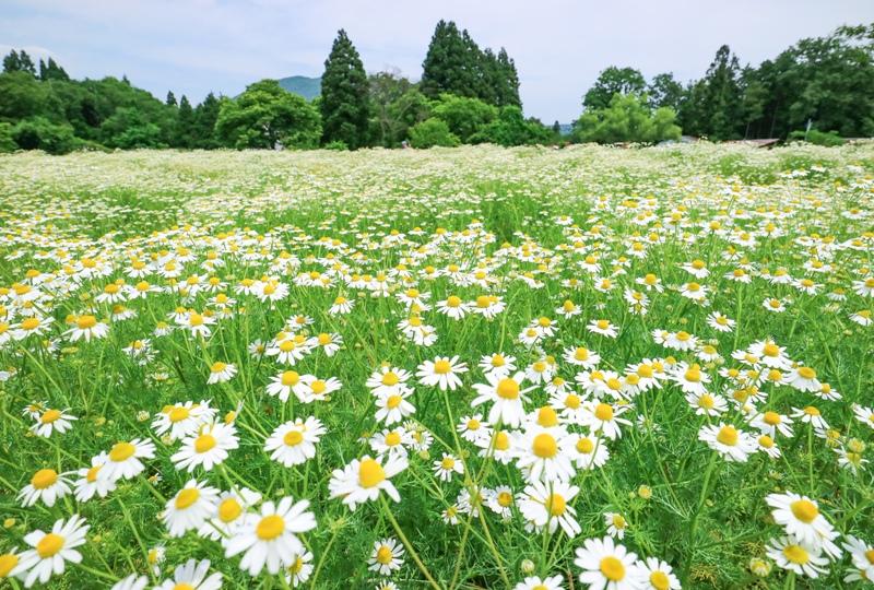 毎年約5万本のカモミールが咲き誇る! 『天意(あい)の里 ハーブガーデン』in 広島