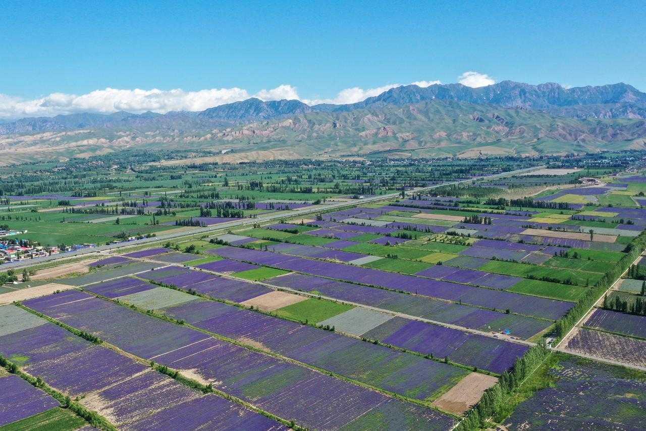 (続報)新疆ウイグル自治区のラベンダー栽培事情について