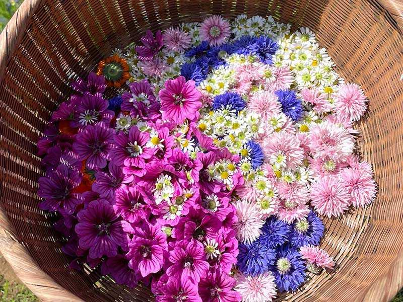 カレンデュラを例にした、花の美しさを保つ「摘み方、洗い方、乾燥の仕方」